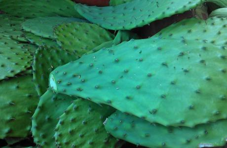 One way to reduce food waste is to cook with drought-tolerant foods - like cactus! Photo by Amber Stott